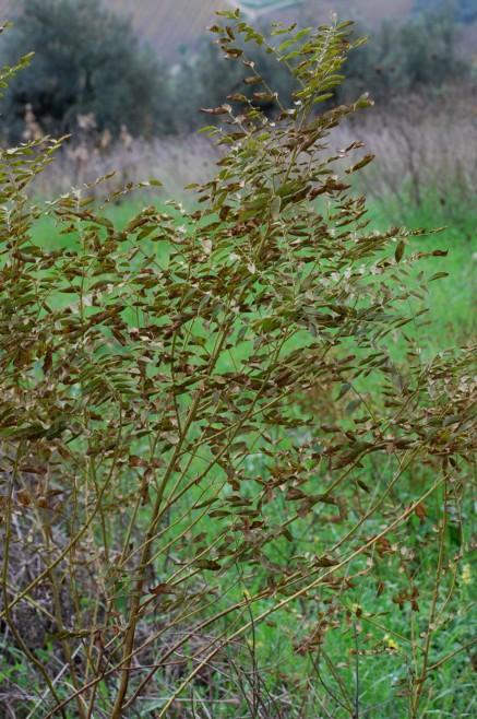 Glycyrrhiza glabra 4
