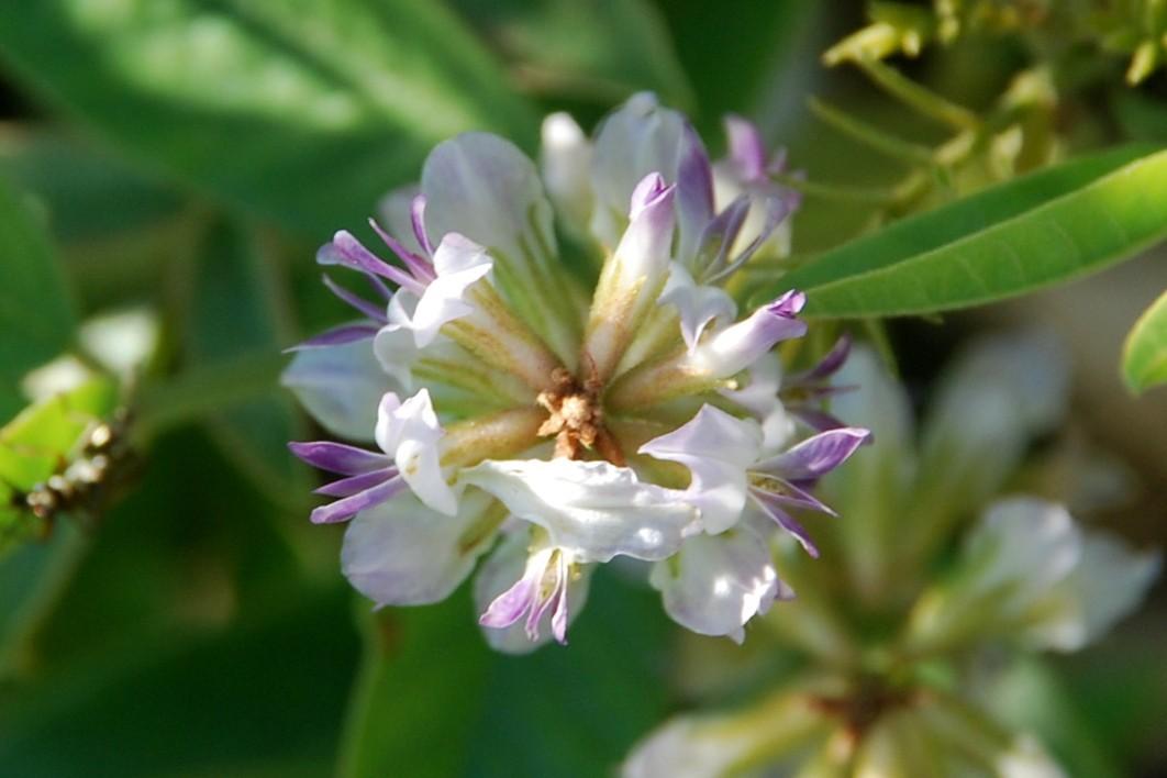 Glycyrrhiza glabra 7