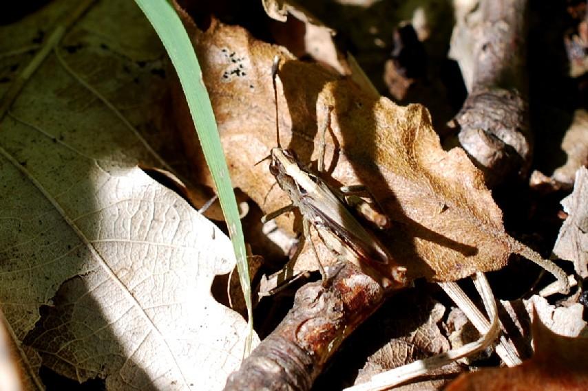 Gomphocerippus rufus - Acrididae