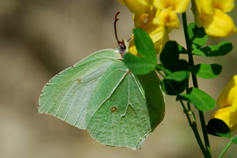 Gonepteryx rhamni - Pieridae