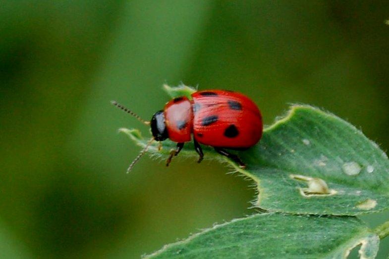 Gonioctena fornicata - Chrysomelidae