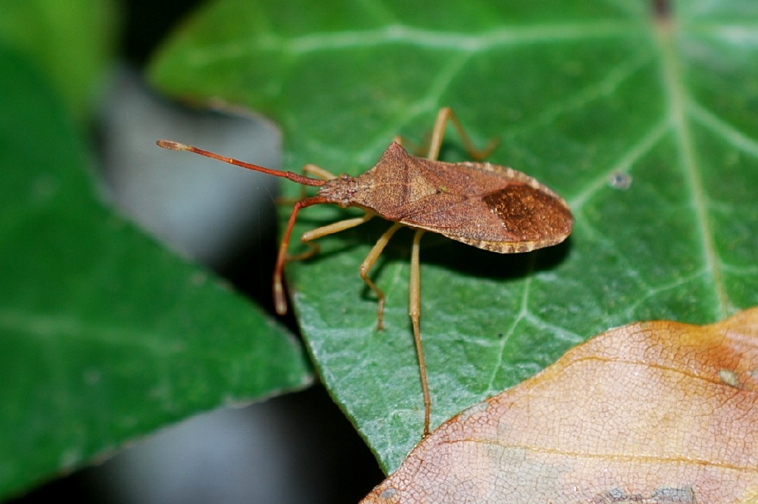 Gonocerus sp. - Coreidae