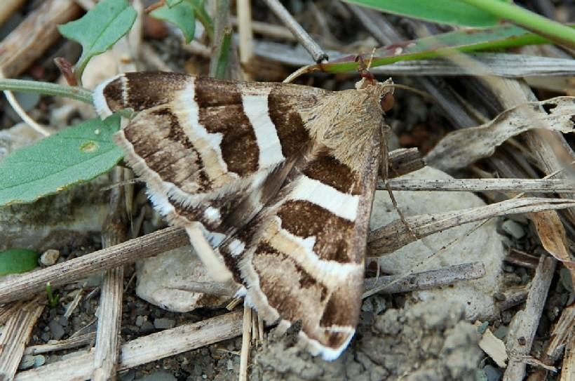Grammodes stolida - Noctuidae