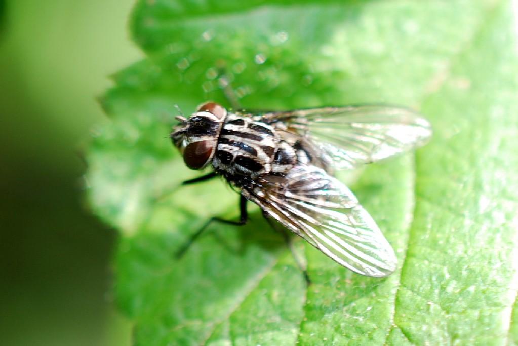 Graphomya maculata - Muscidae
