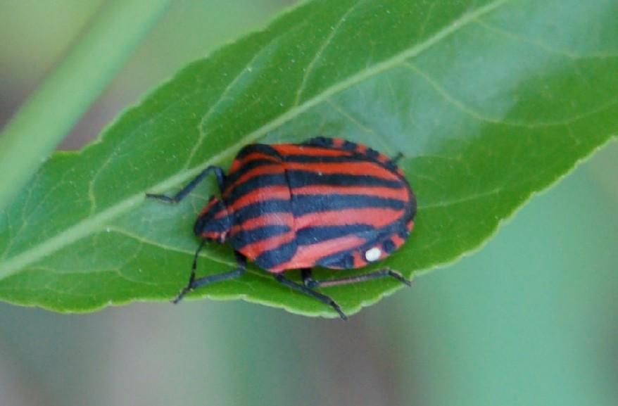 Graphosoma lineatum - Pentatomidae