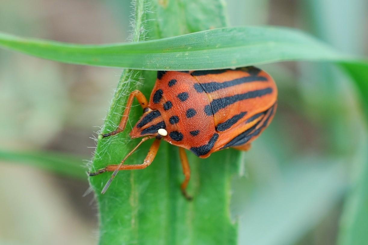 Graphosoma semipunctatum - Pentatomidae