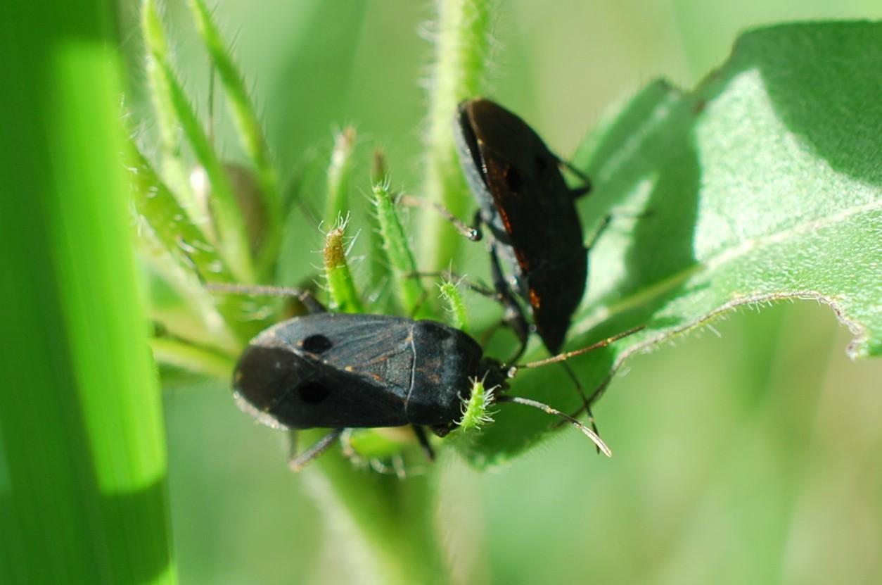 Graptopeltus sp. - Lygaeidae 2