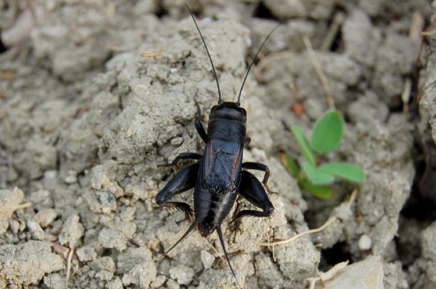 Gryllus campestris - Gryllidae