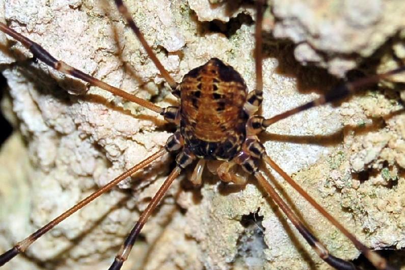 Gyas cfr titanus - Phalangiidae
