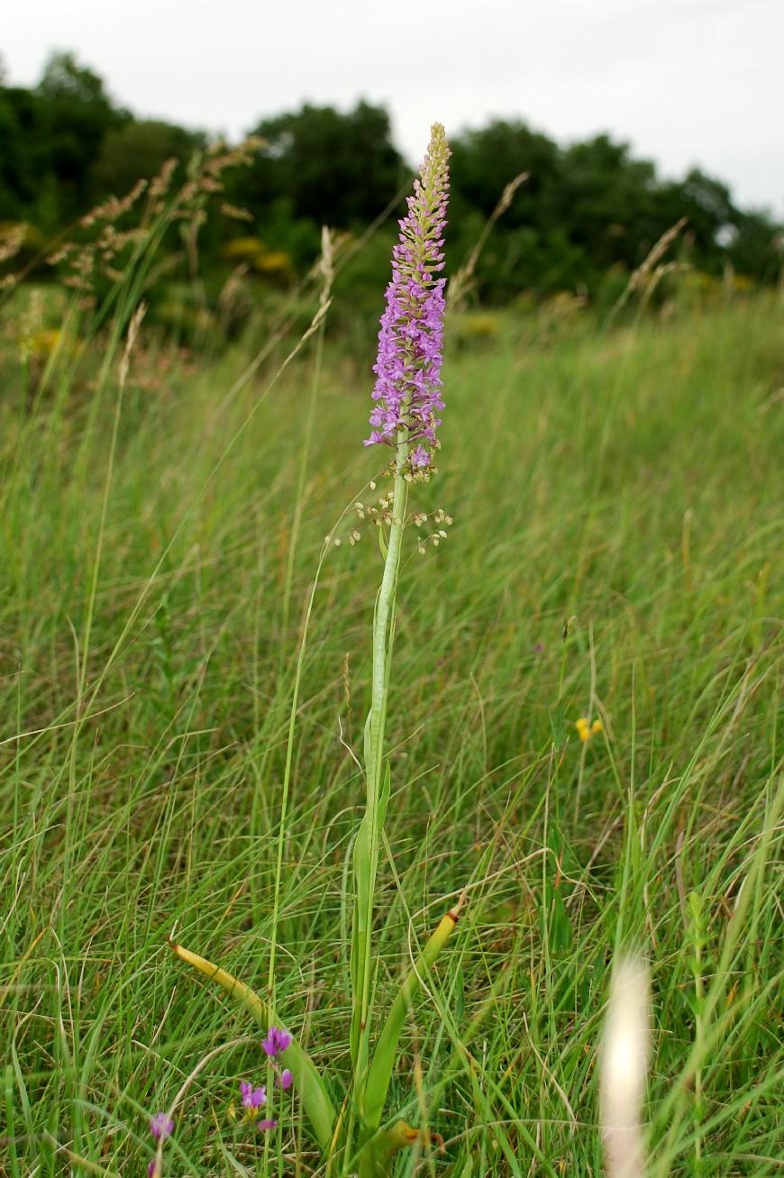 Gymnadenia conopsea subsp. conopsea