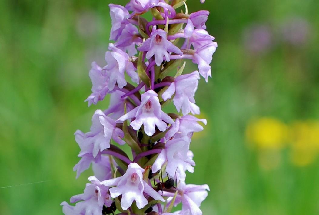 Gymnadenia conopsea subsp. conopsea 15