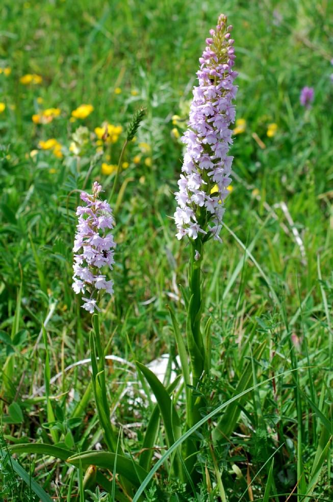 Gymnadenia conopsea subsp. conopsea 19