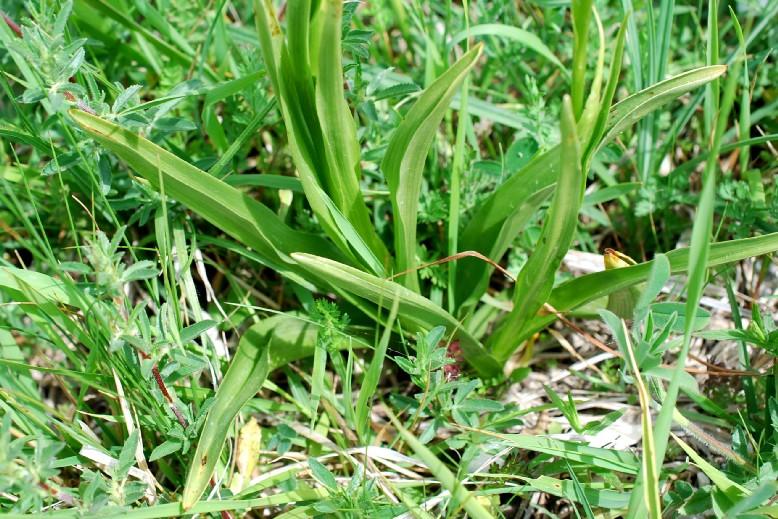 Gymnadenia conopsea subsp. conopsea 22