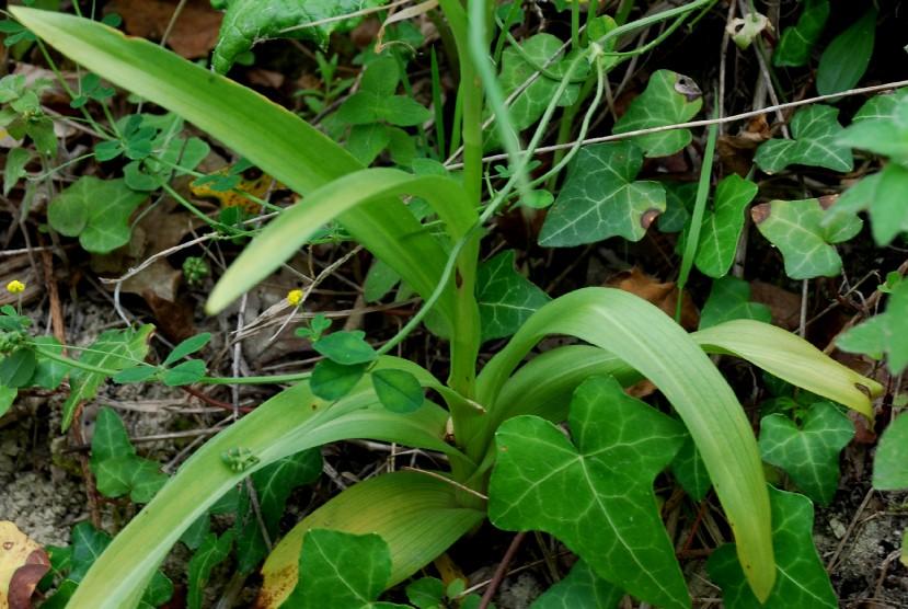 Gymnadenia conopsea subsp. conopsea 6