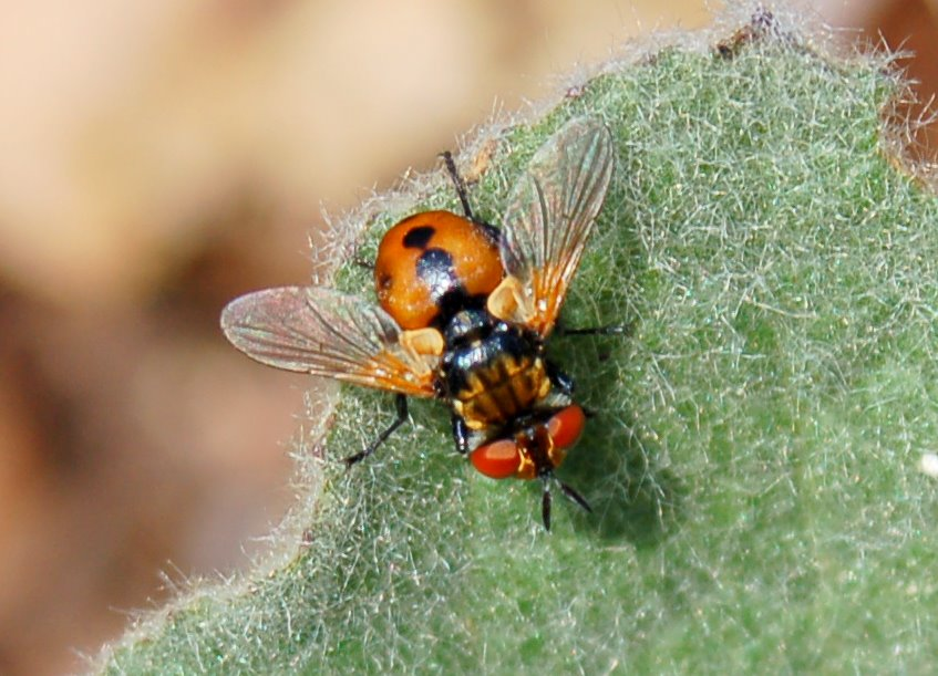 Gymnosoma sp. - Tachinidae