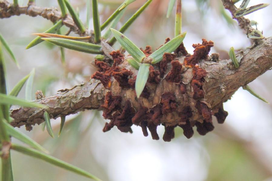 Gymnosporangium clavariiforme - Fungi, Pucciniacea