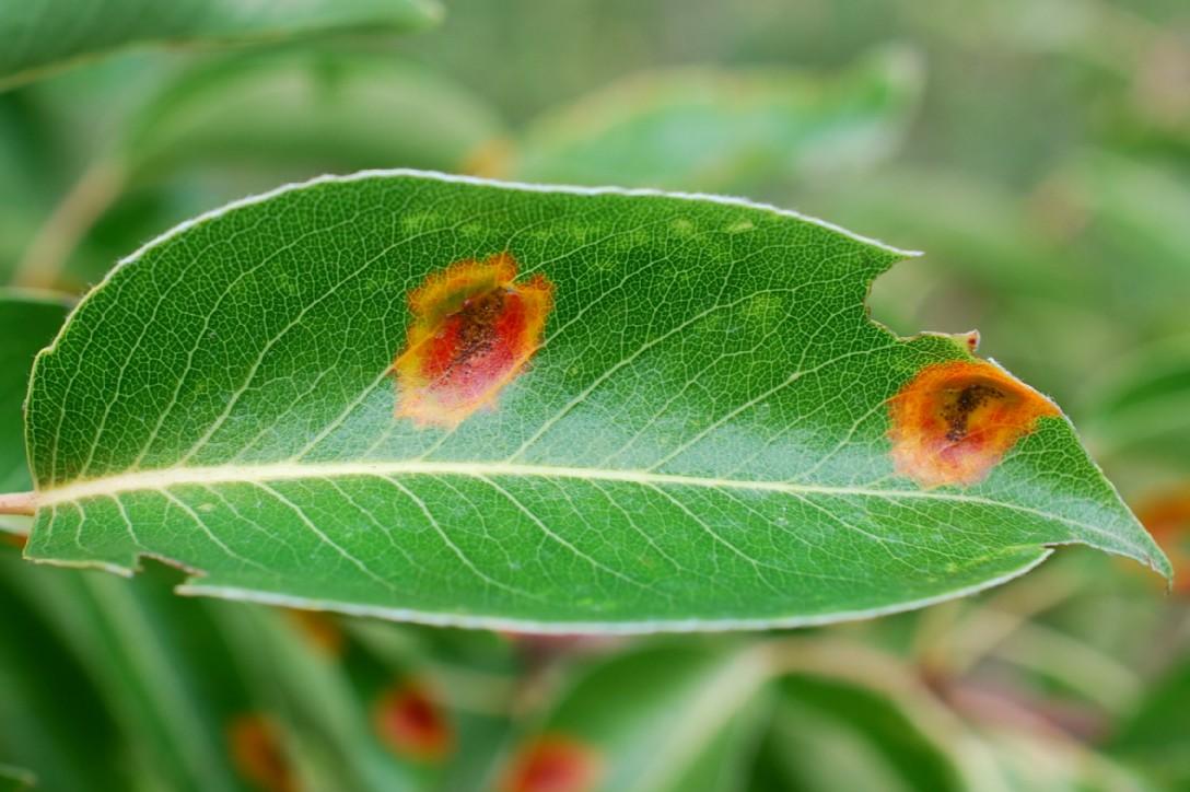 Gymnosporangium sabinae - Fungi, Pucciniacea - (Pyrus communis subsp. piraster) 5