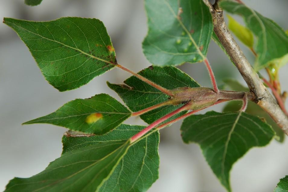 Gypsonoma aceriana - Lepidottera, Tortricidae - (Populus nigra)