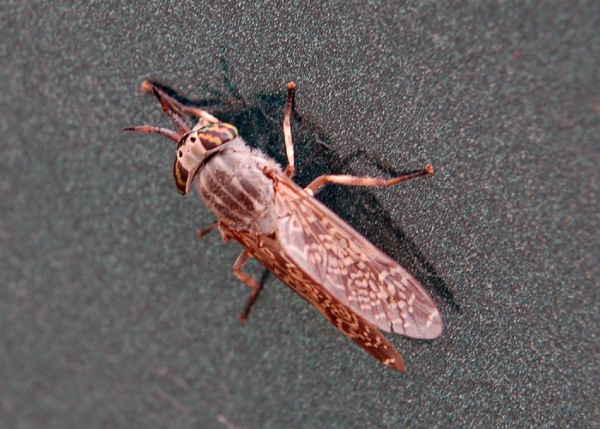 Haematopota pluvialis - Tabanidae