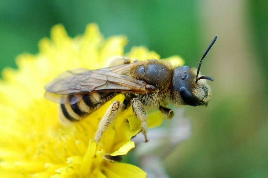Halictus sp. - Apidae Halictinae