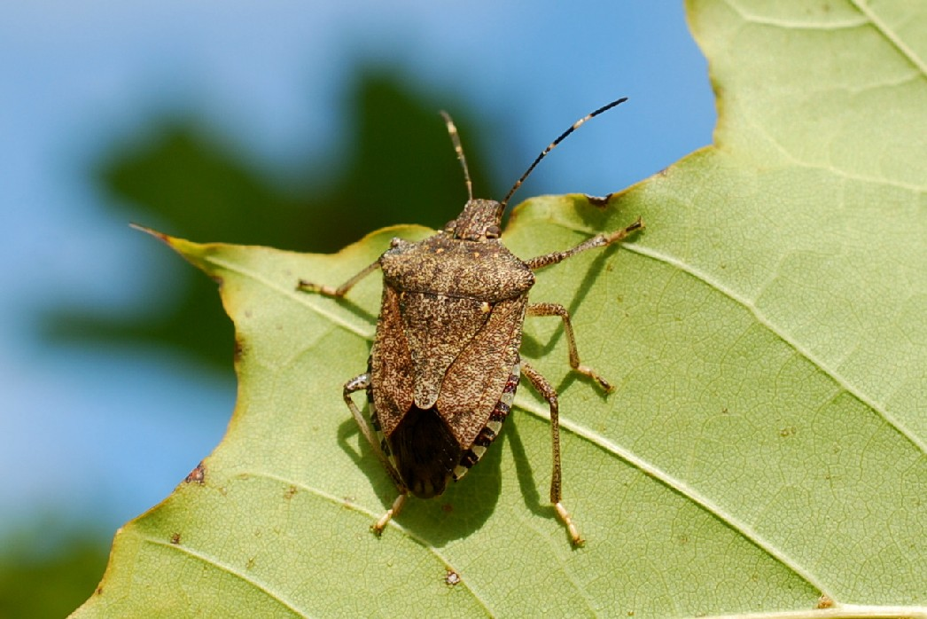 Halyomorpha halys - Pentatomidae