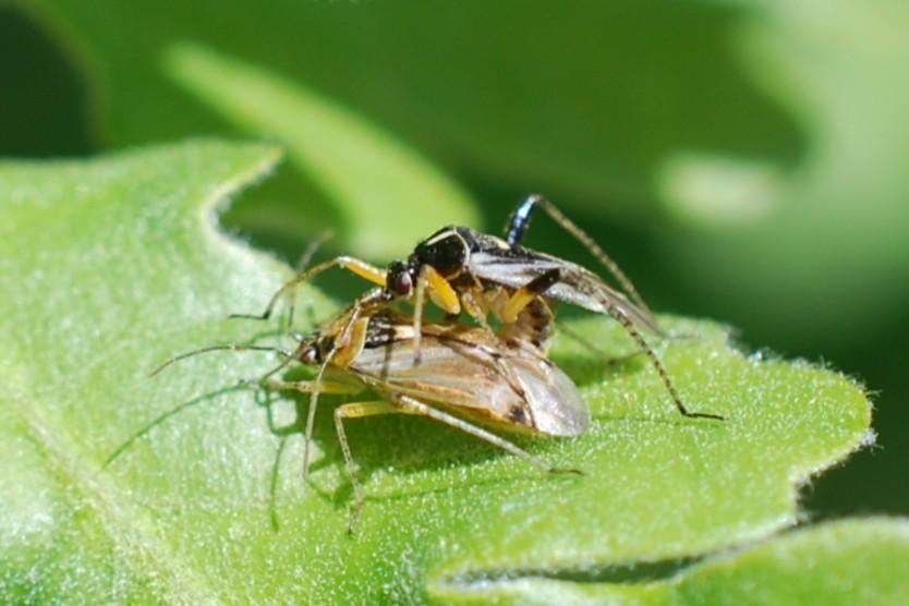 Harpocera thoracica - Miridae