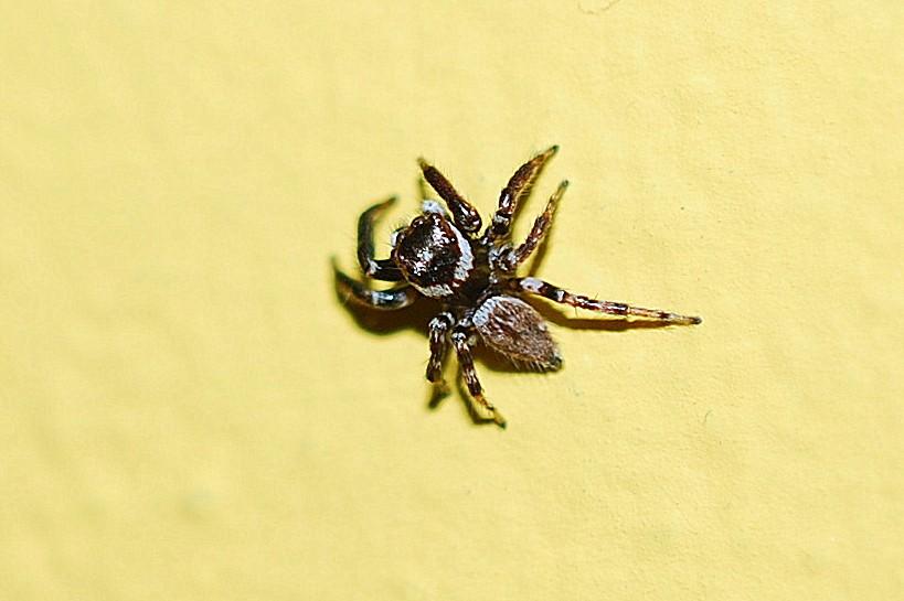Hasarius adansoni - Salticidae