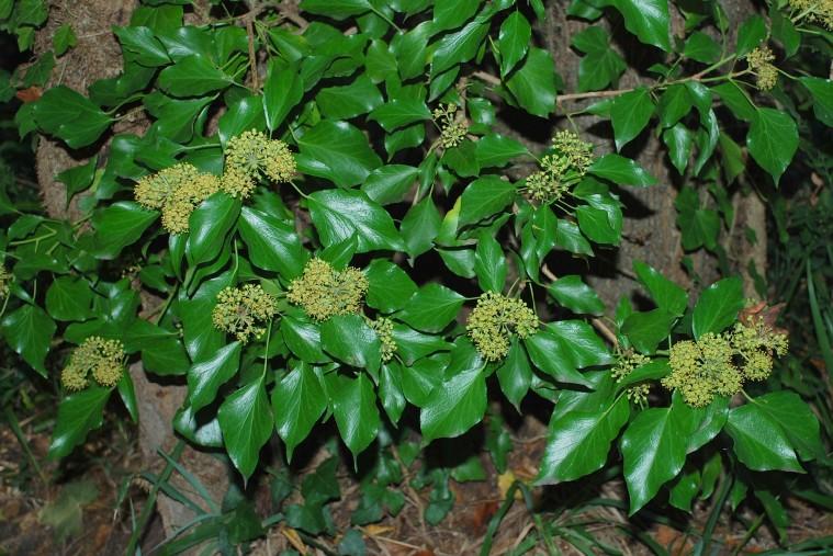 Hedera helix subsp. helix 14