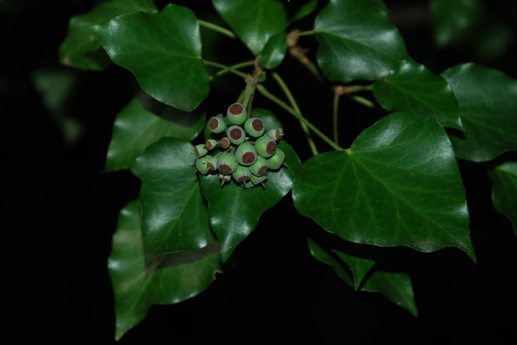 Hedera helix subsp. helix 4