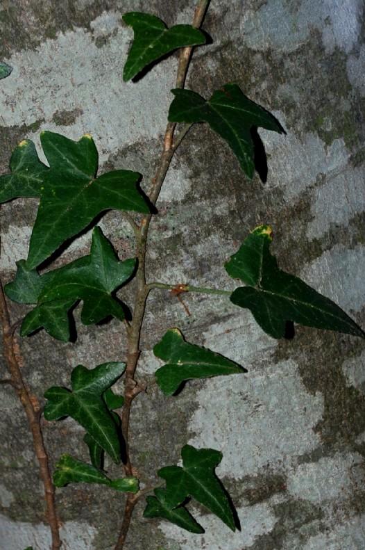 Hedera helix subsp. helix 5