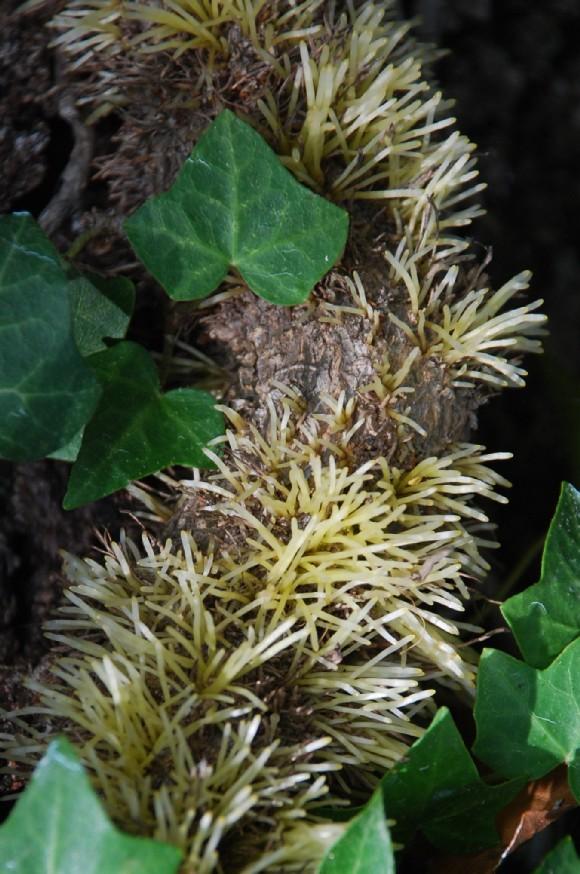 Hedera helix subsp. helix 8