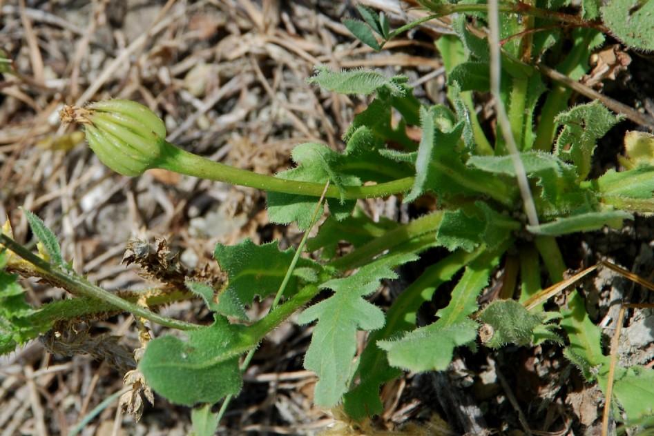 Hedypnois cretica