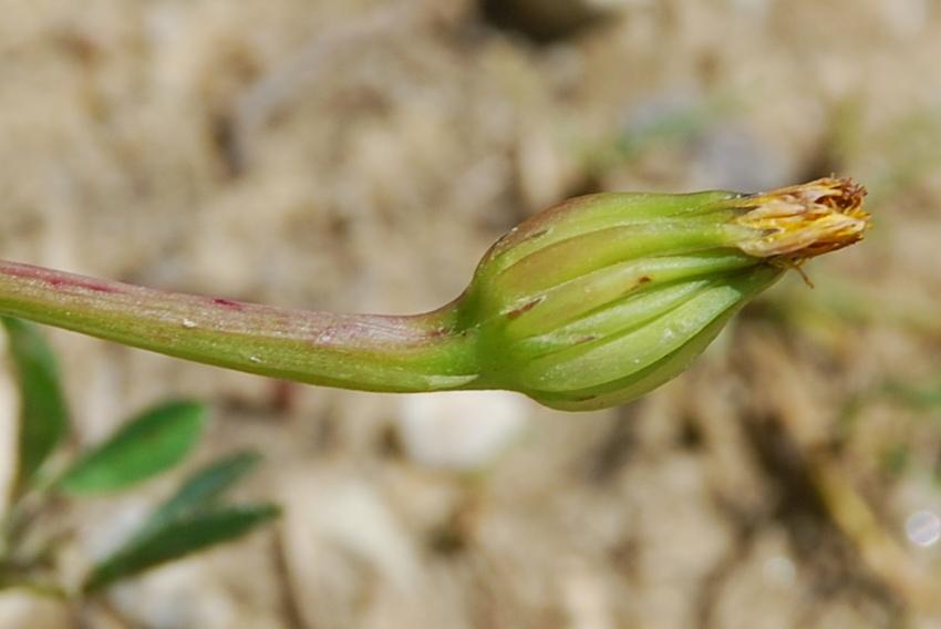Hedypnois cretica 10