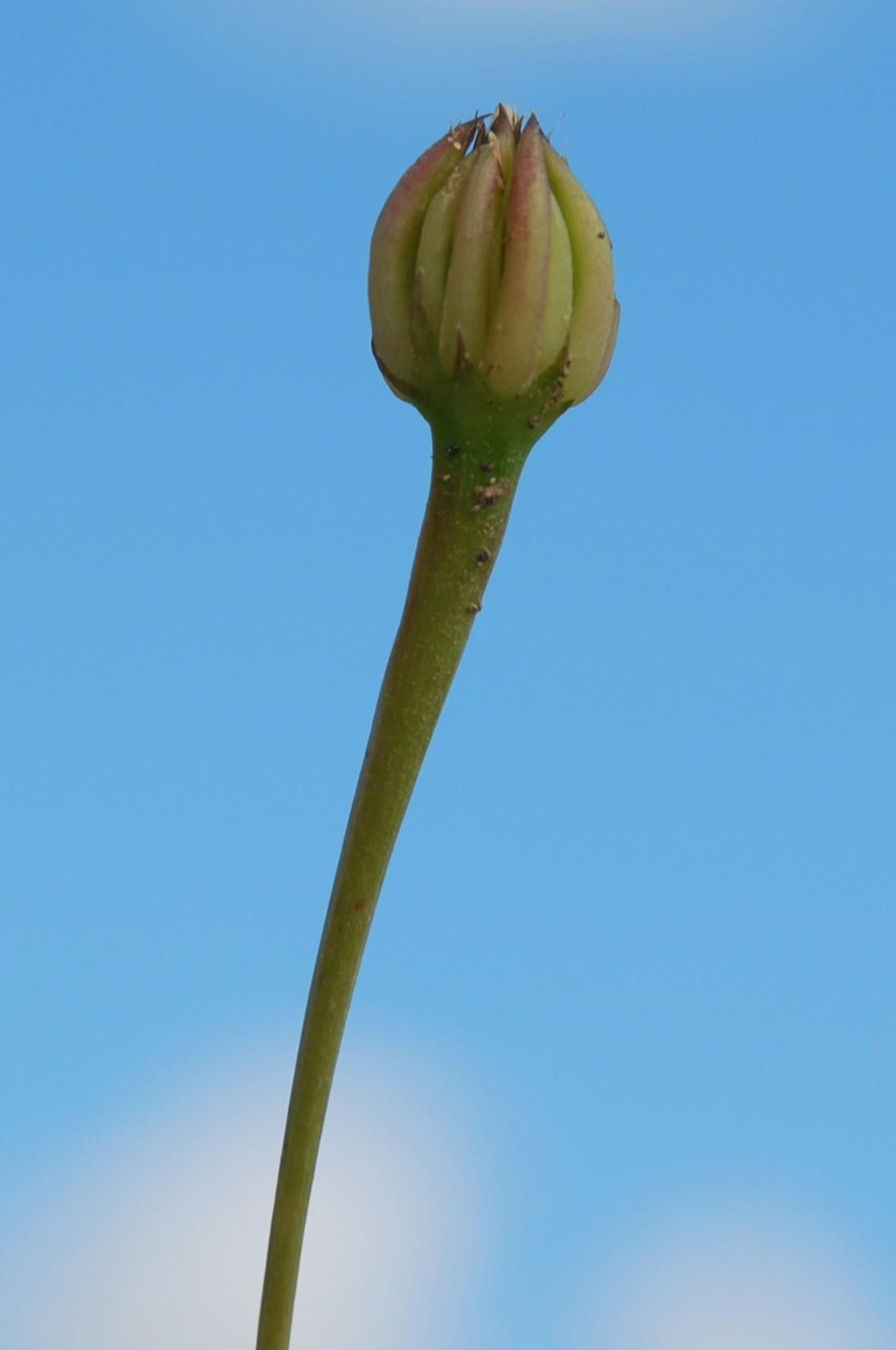 Hedypnois cretica 11