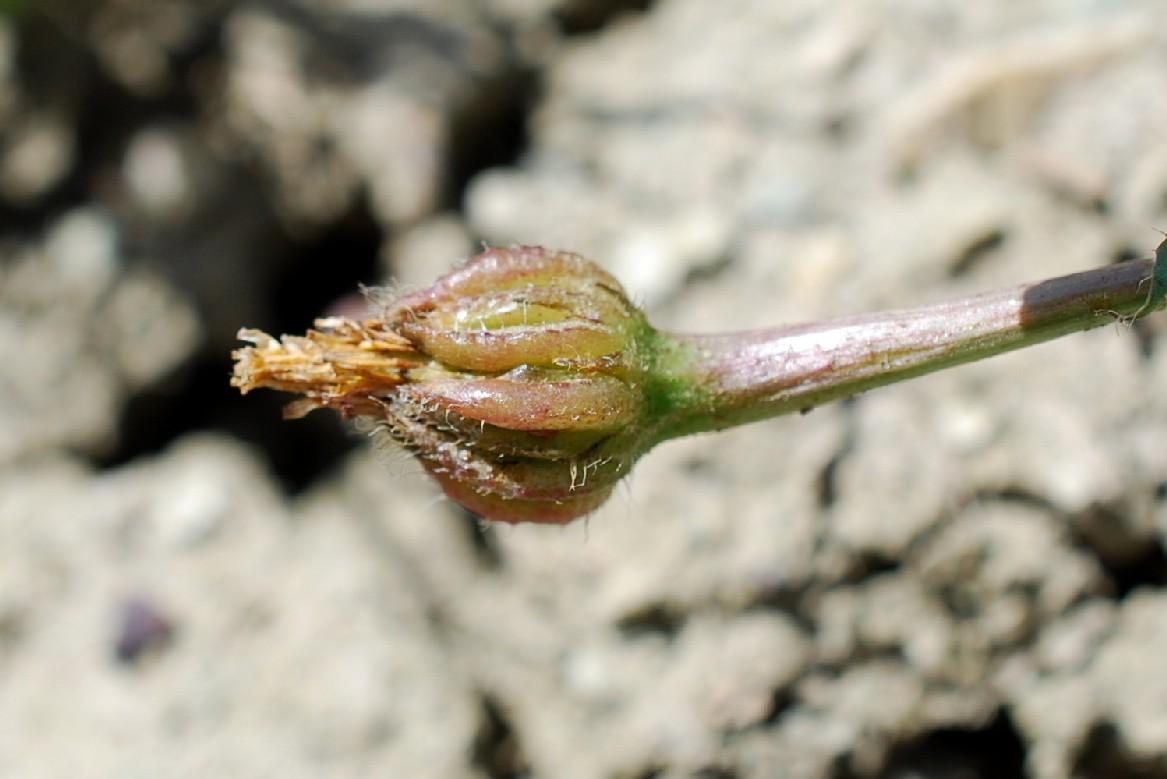 Hedypnois cretica 25