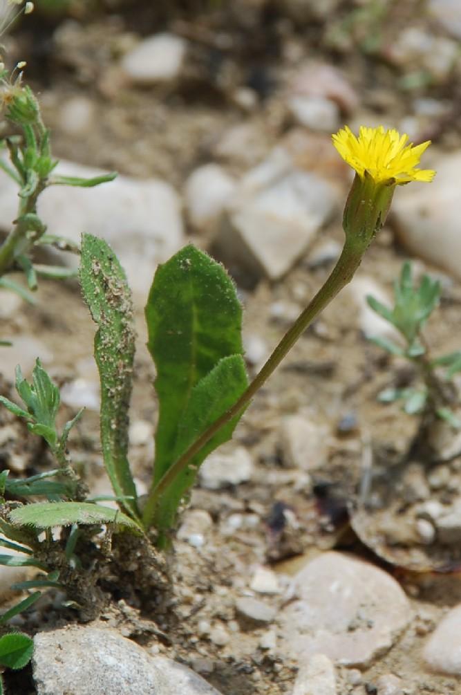 Hedypnois cretica 5