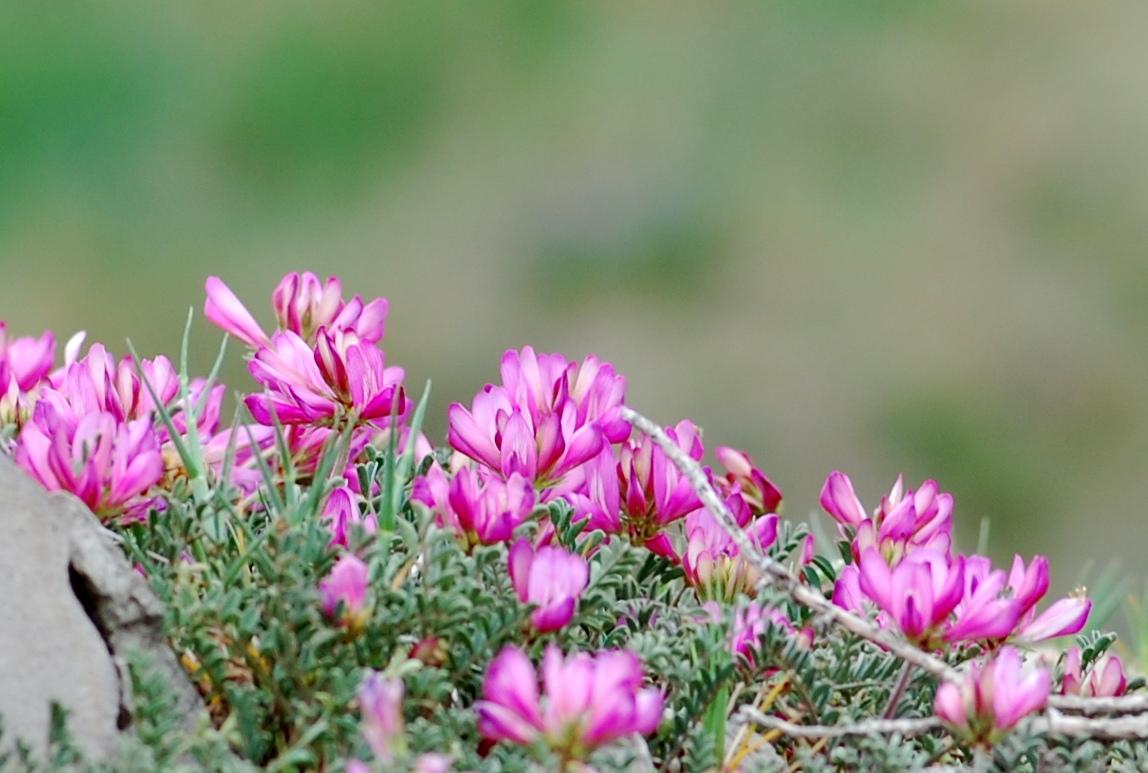 Hedysarum spinosissimum subsp. capitatum