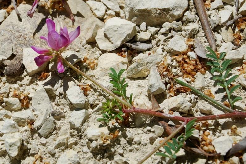 Hedysarum spinosissimum subsp. capitatum 11