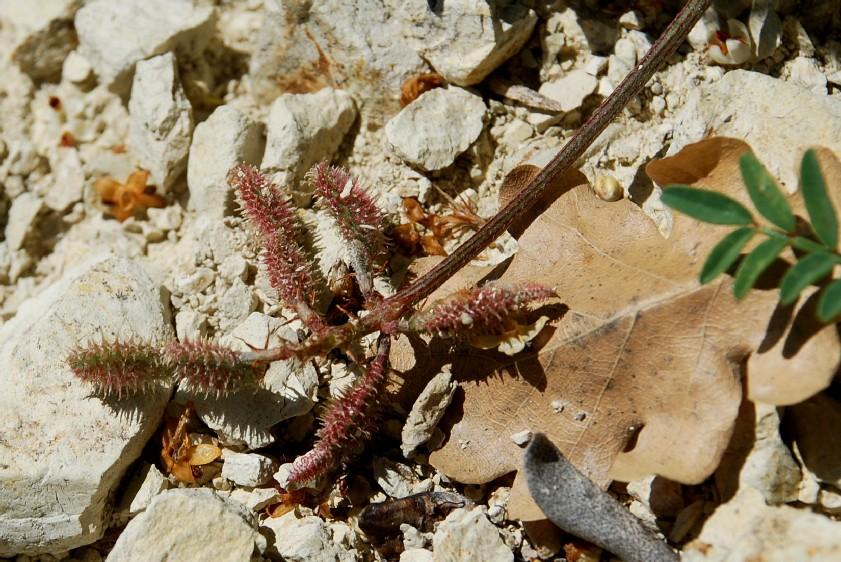 Hedysarum spinosissimum subsp. capitatum 12