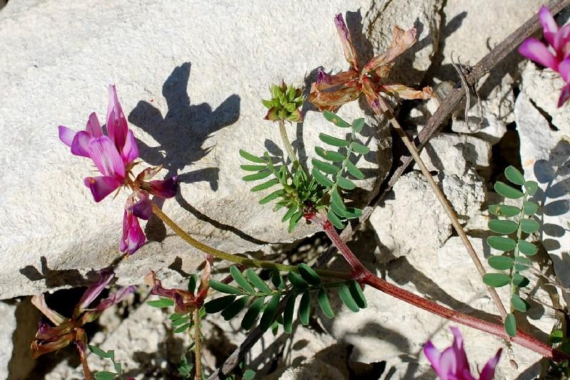 Hedysarum spinosissimum subsp. capitatum 14
