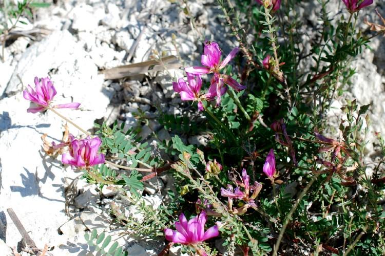 Hedysarum spinosissimum subsp. capitatum 17