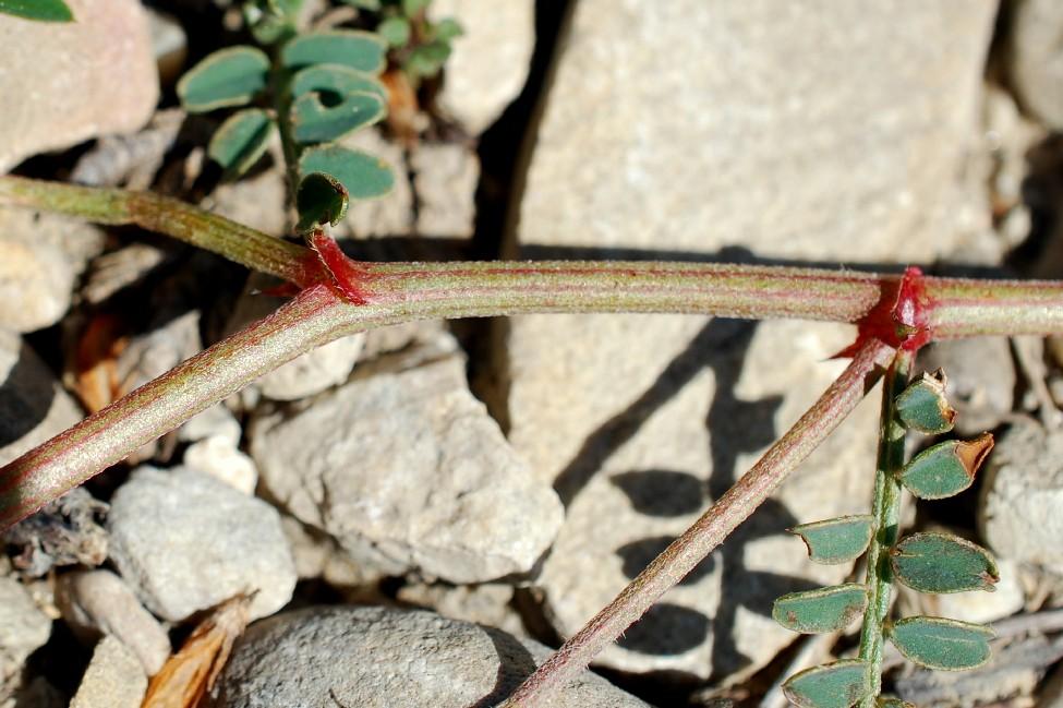 Hedysarum spinosissimum subsp. capitatum 18