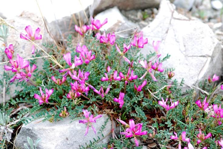 Hedysarum spinosissimum subsp. capitatum 4