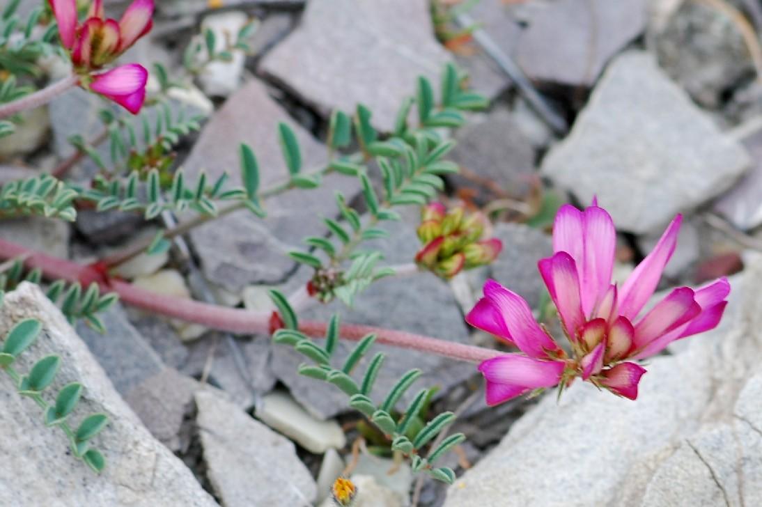 Hedysarum spinosissimum subsp. capitatum 5