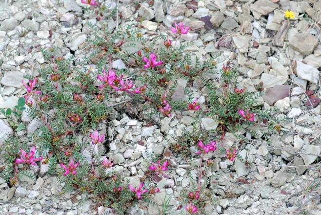 Hedysarum spinosissimum subsp. capitatum 6