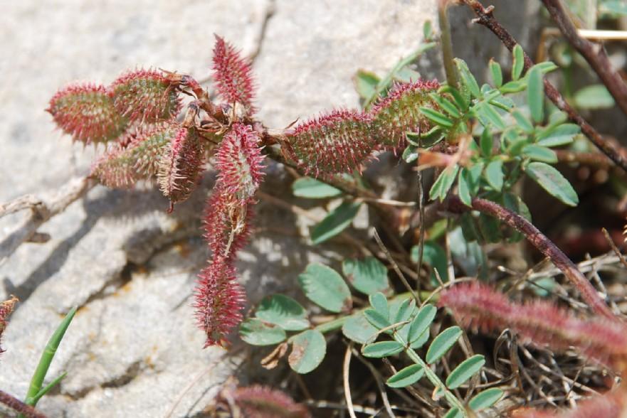 Hedysarum spinosissimum subsp. capitatum 9