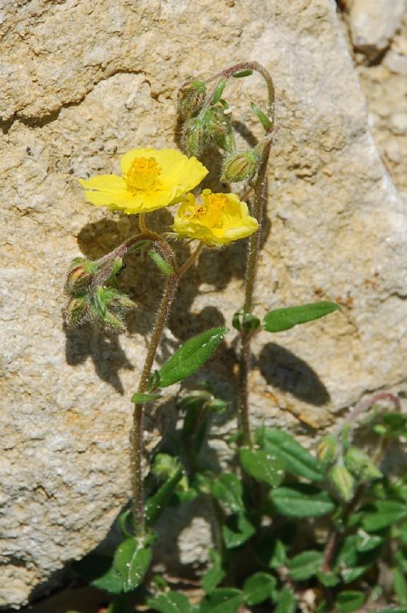 Helianthemum nummularium subsp. obscurum 10