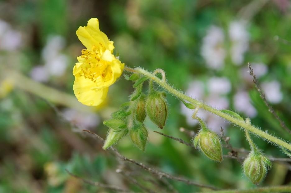 Helianthemum nummularium subsp. obscurum 16