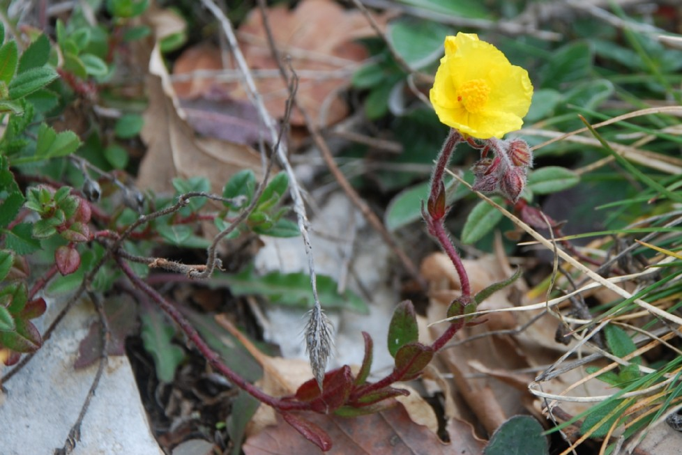Helianthemum nummularium subsp. obscurum 22