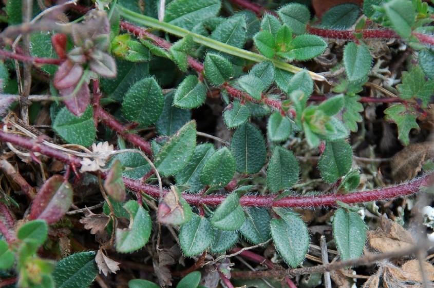 Helianthemum nummularium subsp. obscurum 25